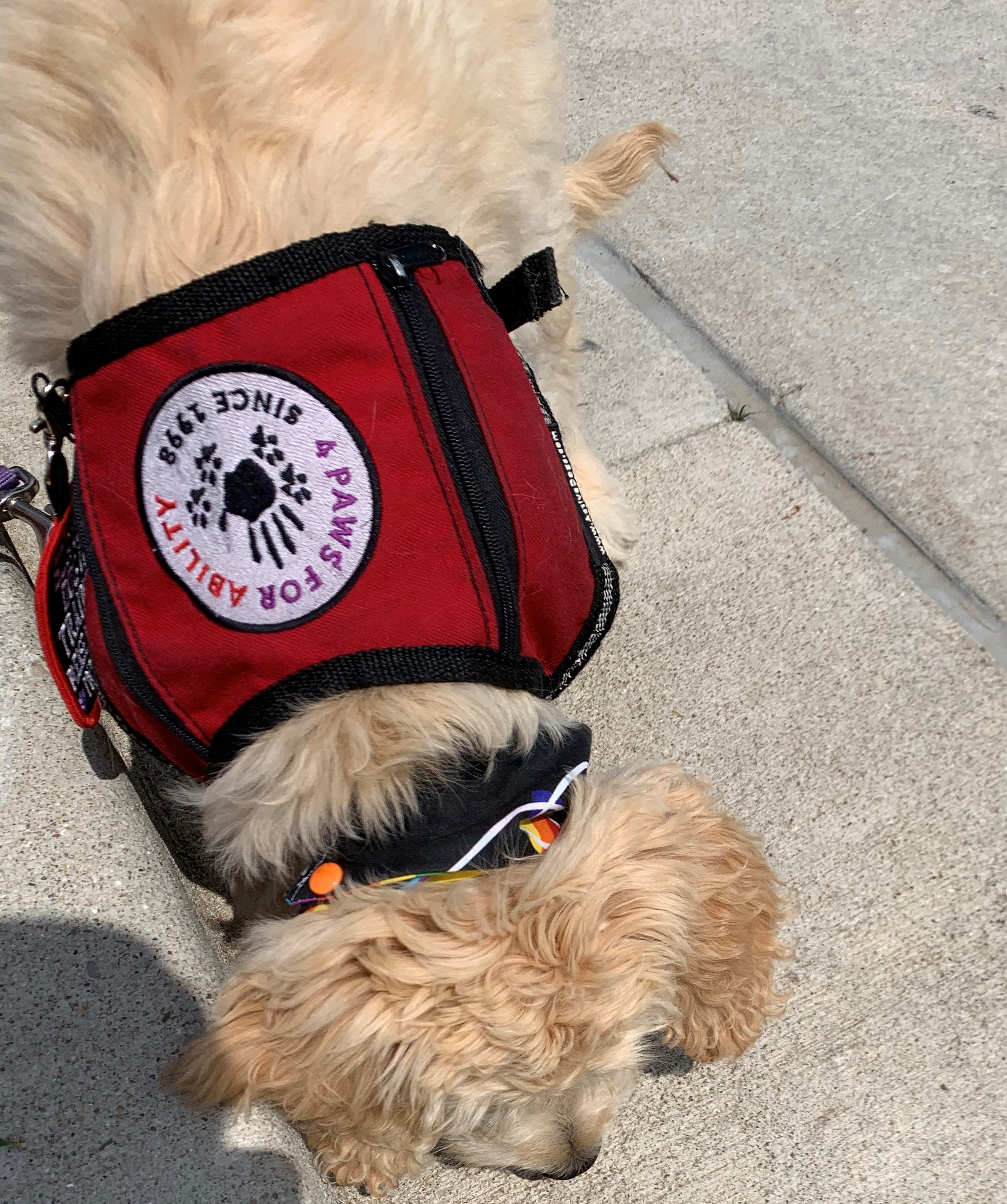 A golden doodle with a service dog vest showing 4 Paw for Ability logo